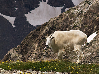 Mountain Goat in meadow Photograph